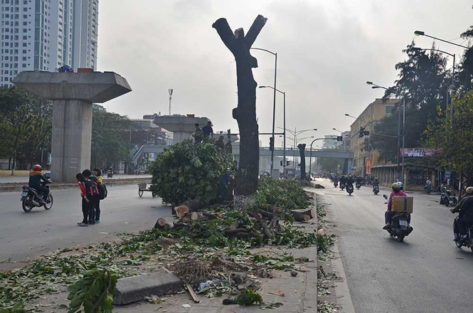 Nuối tiếc nhìn xà cừ bị chặt hạ trên đường Nguyễn Trãi - ảnh 2