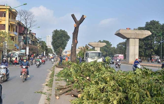 Nuối tiếc nhìn xà cừ bị chặt hạ trên đường Nguyễn Trãi - ảnh 3