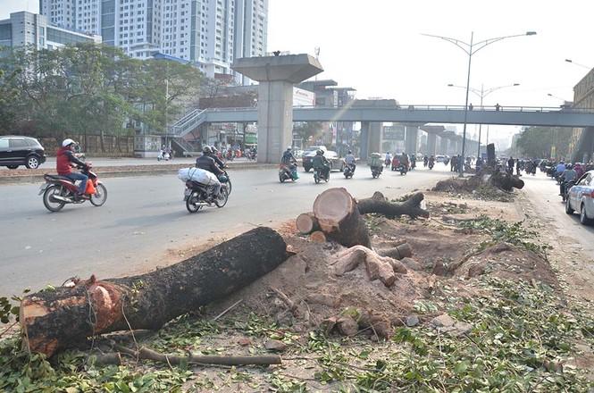 Nuối tiếc nhìn xà cừ bị chặt hạ trên đường Nguyễn Trãi - ảnh 9