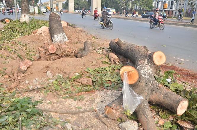Nuối tiếc nhìn xà cừ bị chặt hạ trên đường Nguyễn Trãi - ảnh 6