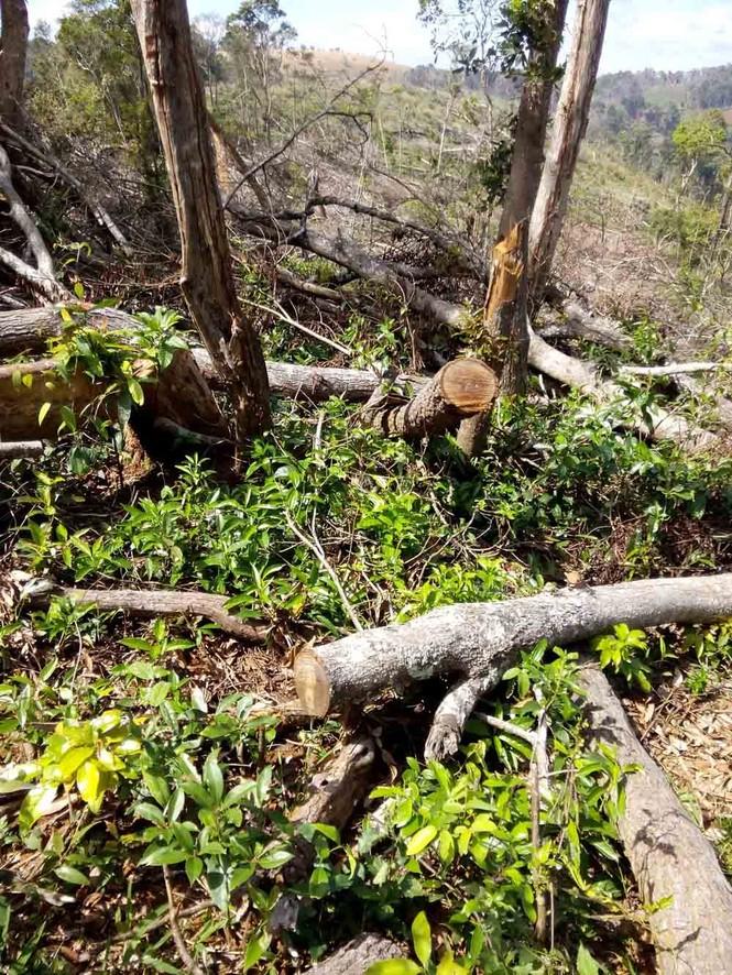 Khởi tố đối tượng lấn chiếm, hủy hoại rừng - ảnh 1