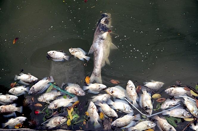 Cá chết bất thường nổi trắng ven Hồ Tây - ảnh 5