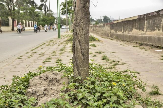Hà Nội có thêm tuyến đường cây xanh chết khô, trơ trụi lá - ảnh 13