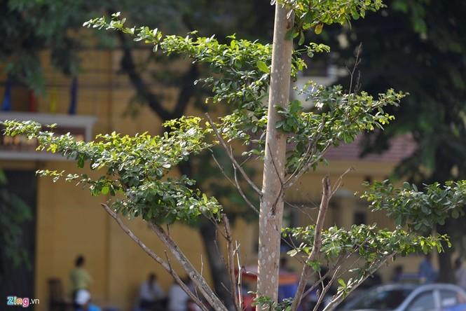 Cận cảnh hàng cây xanh trồng dưới lưới điện 110 KV - ảnh 5