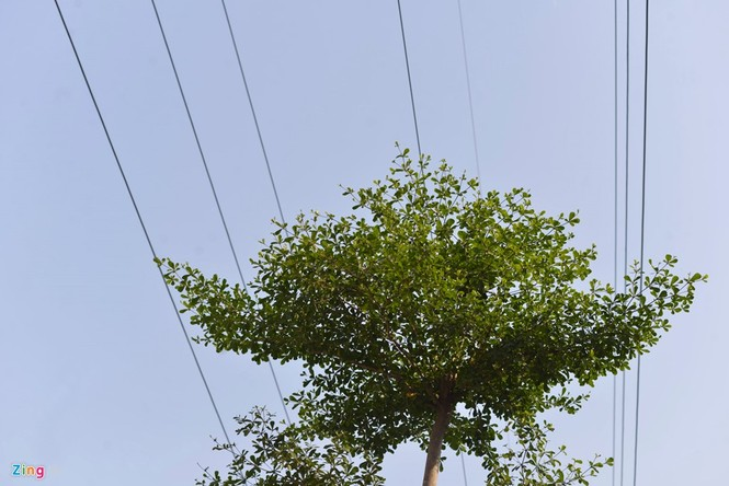 Cận cảnh hàng cây xanh trồng dưới lưới điện 110 KV - ảnh 7
