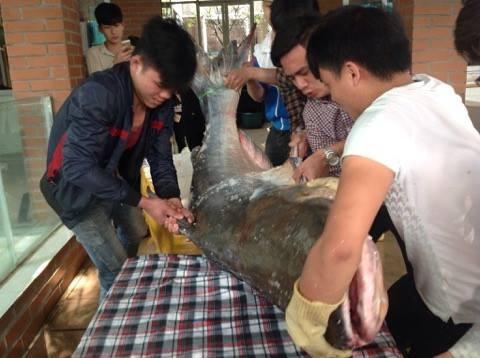 """Chi hơn 100 triệu đưa """"thủy quái"""" 140kg từ Campuchia về Hà Nội - ảnh 2"""
