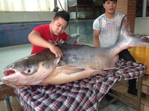 """Chi hơn 100 triệu đưa """"thủy quái"""" 140kg từ Campuchia về Hà Nội - ảnh 3"""