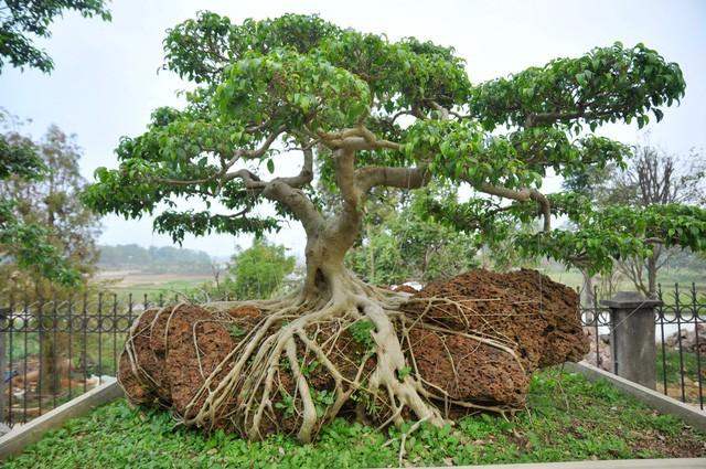Vườn cảnh tiền tỷ của lão nông chơi cây nổi tiếng Hà thành - ảnh 12