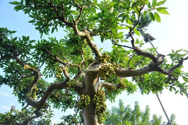 Vườn cảnh tiền tỷ của lão nông chơi cây nổi tiếng Hà thành - ảnh 6