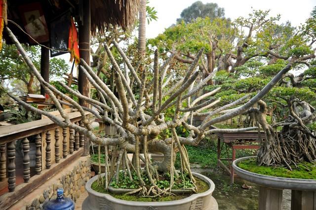 Vườn cảnh tiền tỷ của lão nông chơi cây nổi tiếng Hà thành - ảnh 7