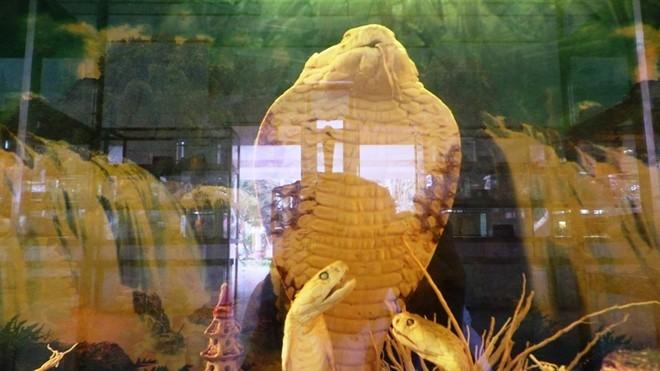 Hổ mang chúa dài 4,3 mét sống đến 18 năm - ảnh 2
