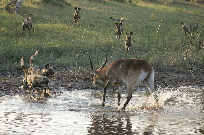 Linh dương đơn độc phá vây bầy chó hoang - ảnh 1