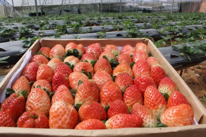 Đẹp lạ kỳ vườn dâu công nghệ cao của nông dân Đà Lạt - ảnh 10