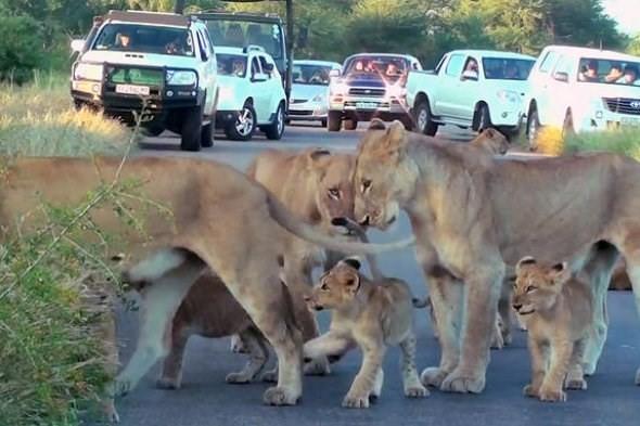Hãi hùng chứng kiến bầy sư tử kéo nhau ra ngủ ở giữa đường - ảnh 9