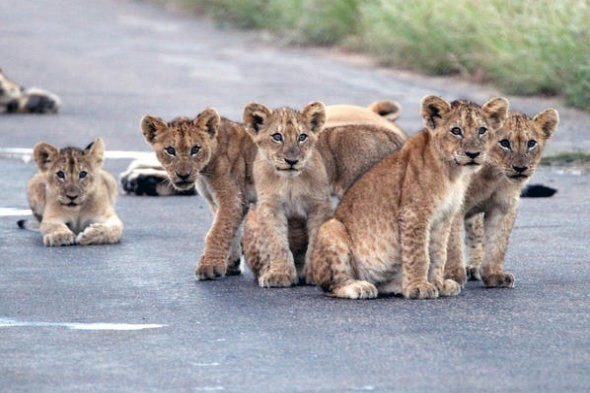 Hãi hùng chứng kiến bầy sư tử kéo nhau ra ngủ ở giữa đường - ảnh 1