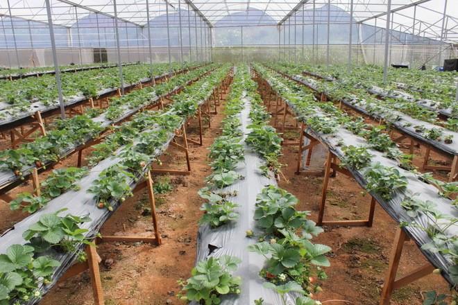 Đẹp lạ kỳ vườn dâu công nghệ cao của nông dân Đà Lạt - ảnh 2