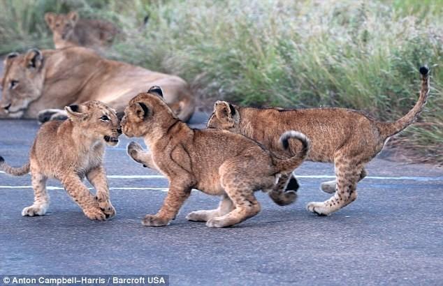 Hãi hùng chứng kiến bầy sư tử kéo nhau ra ngủ ở giữa đường - ảnh 2