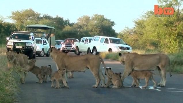 Hãi hùng chứng kiến bầy sư tử kéo nhau ra ngủ ở giữa đường - ảnh 3