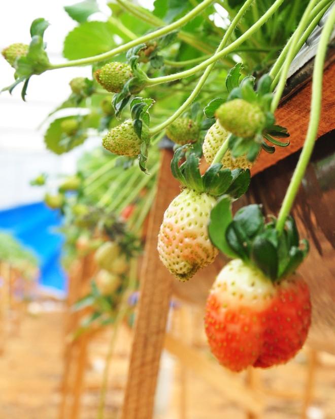 Đẹp lạ kỳ vườn dâu công nghệ cao của nông dân Đà Lạt - ảnh 4