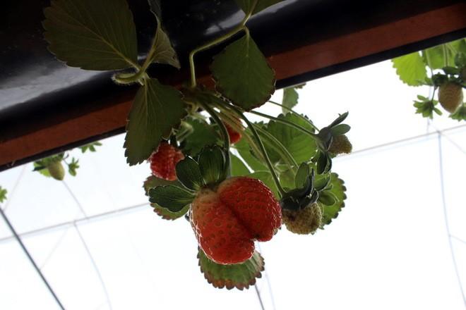 Đẹp lạ kỳ vườn dâu công nghệ cao của nông dân Đà Lạt - ảnh 5