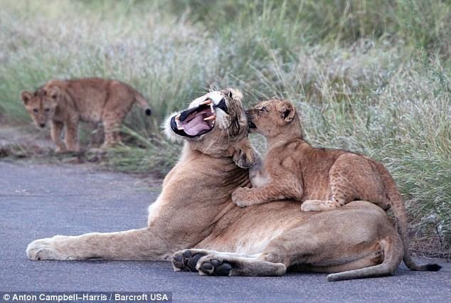 Hãi hùng chứng kiến bầy sư tử kéo nhau ra ngủ ở giữa đường - ảnh 5