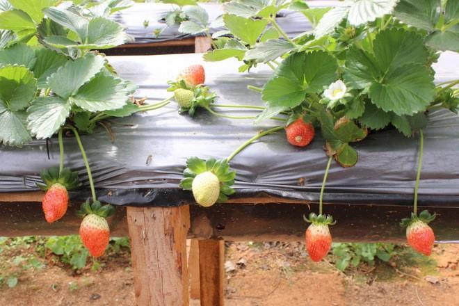 Đẹp lạ kỳ vườn dâu công nghệ cao của nông dân Đà Lạt - ảnh 7