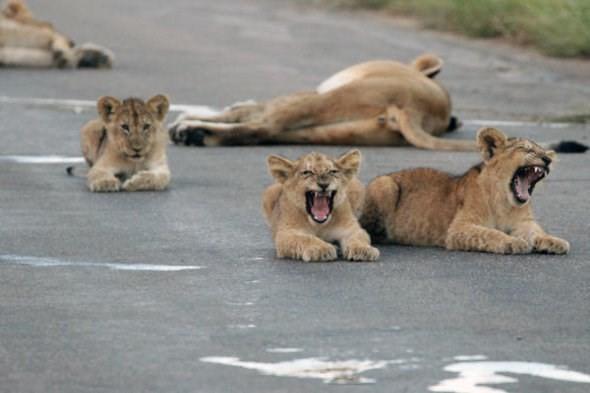 Hãi hùng chứng kiến bầy sư tử kéo nhau ra ngủ ở giữa đường - ảnh 6
