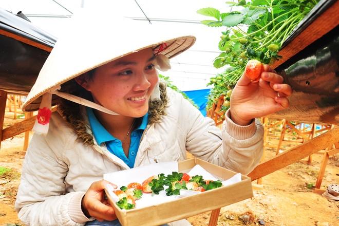 Đẹp lạ kỳ vườn dâu công nghệ cao của nông dân Đà Lạt - ảnh 8