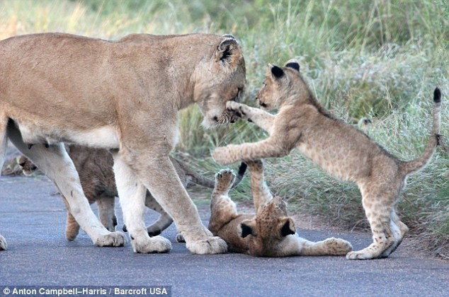 Hãi hùng chứng kiến bầy sư tử kéo nhau ra ngủ ở giữa đường - ảnh 7