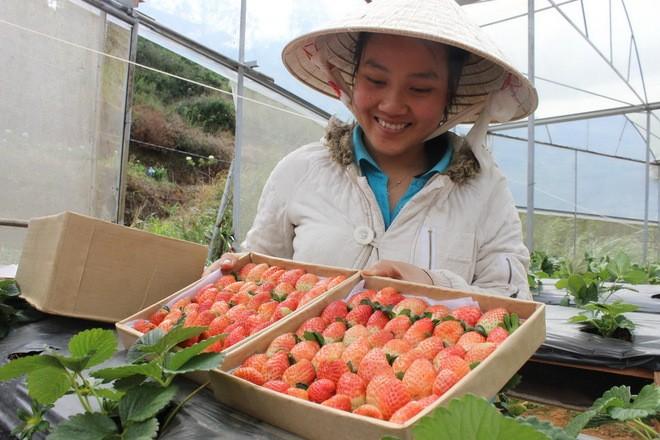 Đẹp lạ kỳ vườn dâu công nghệ cao của nông dân Đà Lạt - ảnh 9
