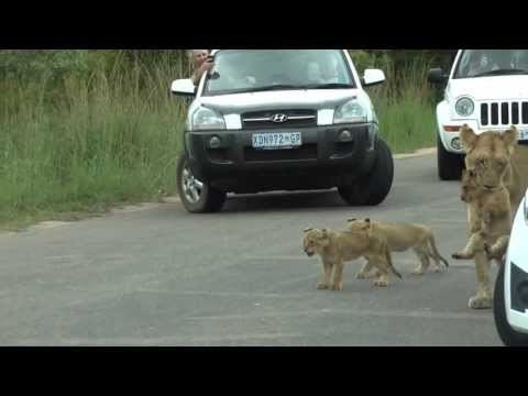 Hãi hùng chứng kiến bầy sư tử kéo nhau ra ngủ ở giữa đường - ảnh 8