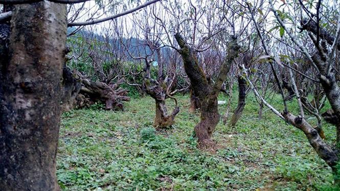 Đào rừng thế đẹp 10 triệu đồng một gốc chơi Tết - ảnh 2
