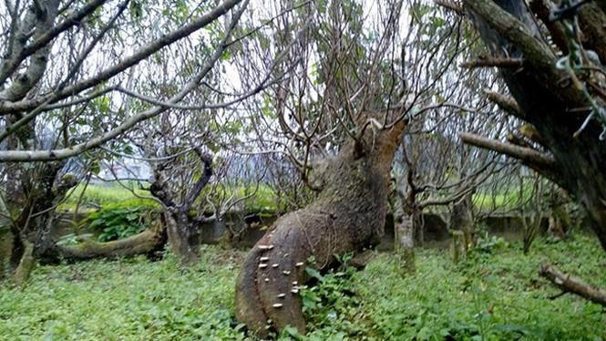 Đào rừng thế đẹp 10 triệu đồng một gốc chơi Tết - ảnh 1