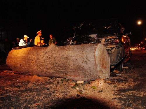 Cây to đường kính cả mét đổ bất ngờ, đè bẹp ô tô của CSGT - ảnh 1