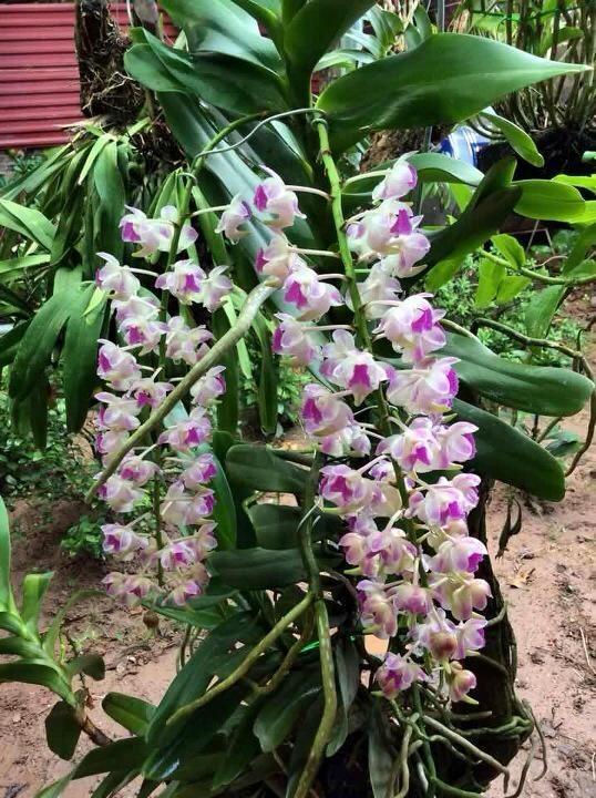 Mục sở thị vườn lan rừng vô giá của cô giáo Hà Nội - ảnh 9