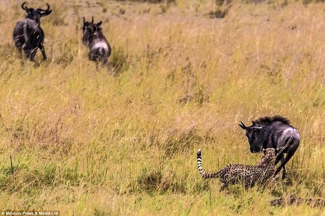Linh dương đầu bò tử chiến với báo đốm - ảnh 4