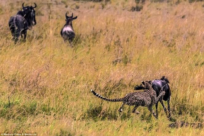 Linh dương đầu bò tử chiến với báo đốm - ảnh 5