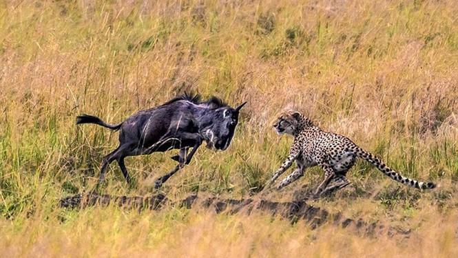 Linh dương đầu bò tử chiến với báo đốm - ảnh 7