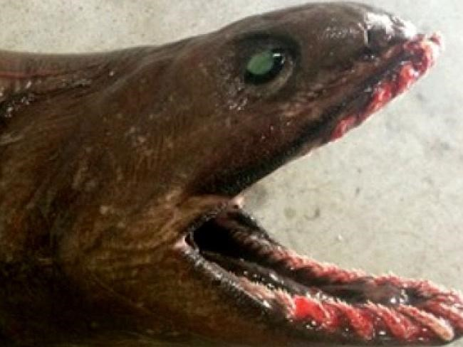 """Bắt được cá mập """"thời tiền sử"""" có tới... 300 răng - ảnh 2"""