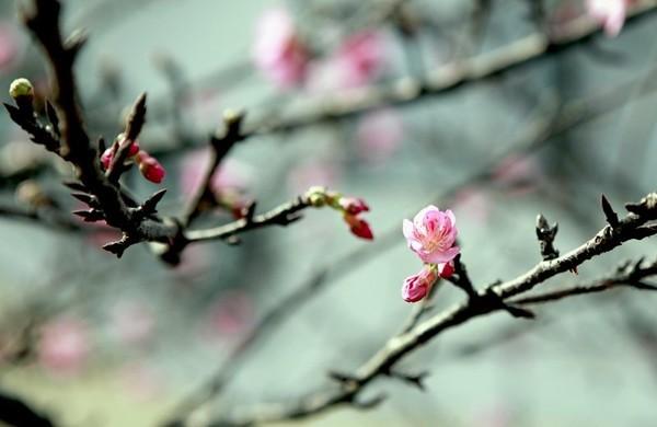 """Ngắm hoa anh đào Nhật Bản """"xịn"""" giữa lòng Hà Nội - ảnh 12"""