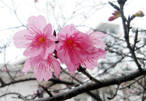 """Ngắm hoa anh đào Nhật Bản """"xịn"""" giữa lòng Hà Nội - ảnh 1"""