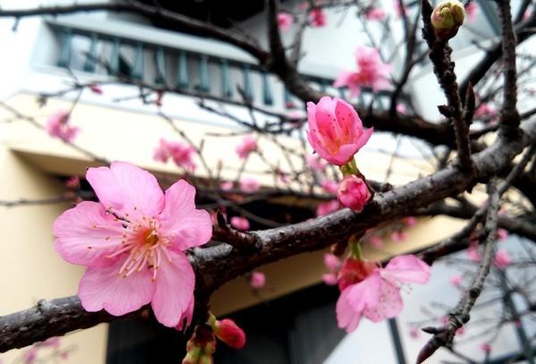 """Ngắm hoa anh đào Nhật Bản """"xịn"""" giữa lòng Hà Nội - ảnh 2"""