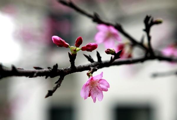 """Ngắm hoa anh đào Nhật Bản """"xịn"""" giữa lòng Hà Nội - ảnh 4"""