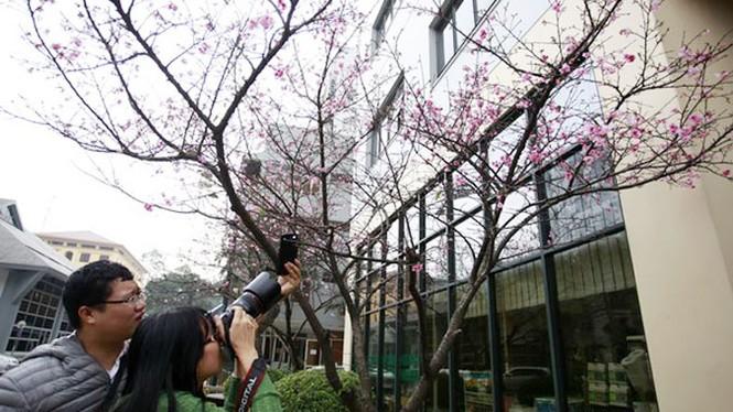 """Ngắm hoa anh đào Nhật Bản """"xịn"""" giữa lòng Hà Nội - ảnh 7"""