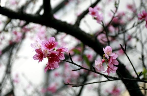 """Ngắm hoa anh đào Nhật Bản """"xịn"""" giữa lòng Hà Nội - ảnh 9"""