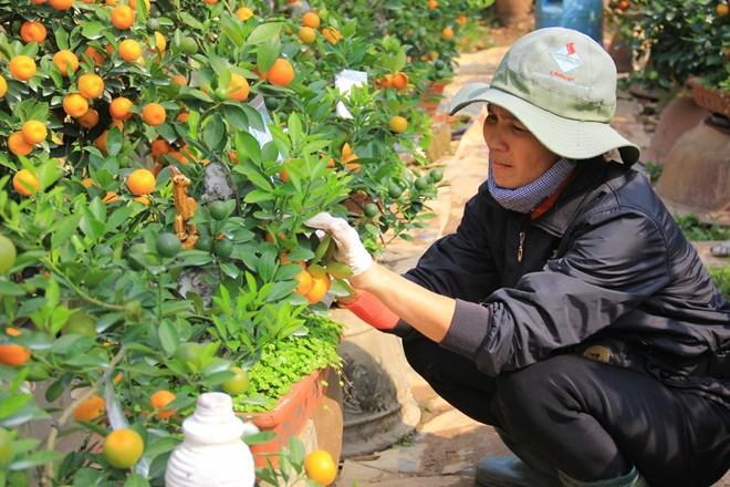 Lão nông Hà thành trồng quất bon sai thu 400 triệu đồng/vụ - ảnh 2