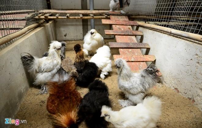 Cặp gà Đông Tảo chân khủng được trả giá 100 triệu đồng - ảnh 11