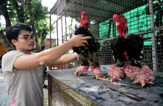 Cặp gà Đông Tảo chân khủng được trả giá 100 triệu đồng - ảnh 1