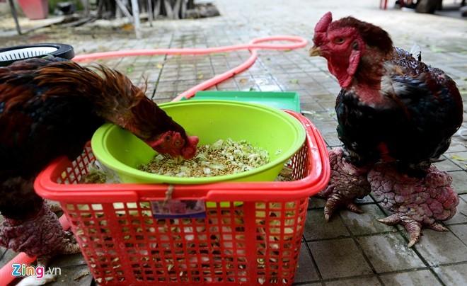 Cặp gà Đông Tảo chân khủng được trả giá 100 triệu đồng - ảnh 9