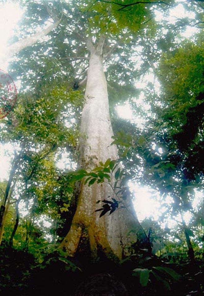 Cây Lim hơn 1.000 tuổi trở thành cây di sản - ảnh 1